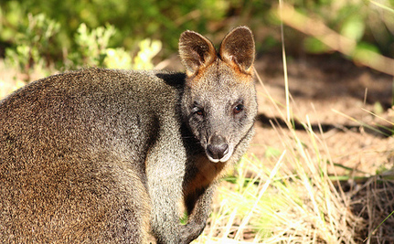 Heroic Man Revives Baby Wallaby With CPR