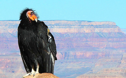 DDT May Still Be Screwing the California Condor