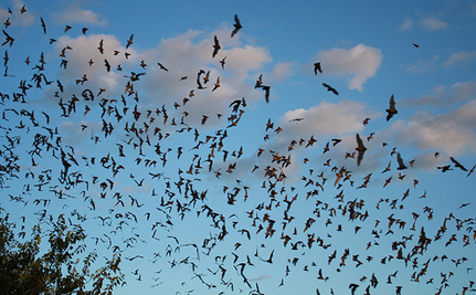 Watch the World's Largest Bat Colony Take Flight