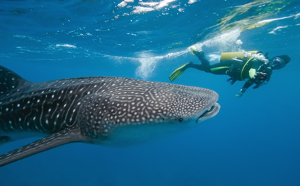 When Done Right, Whale Shark Tourism Can Benefit You and Sharks