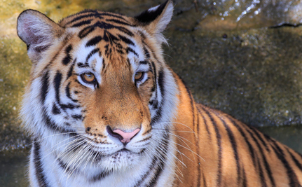 Cyber Crime: Now it�s Going to Kill Tigers, Too