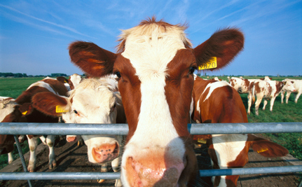 Grass vs. Grain: Cows Are What They Eat