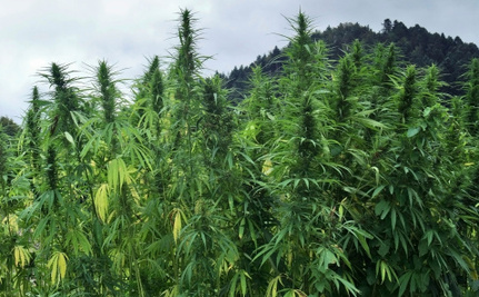 What Hemp Legalization Means for California