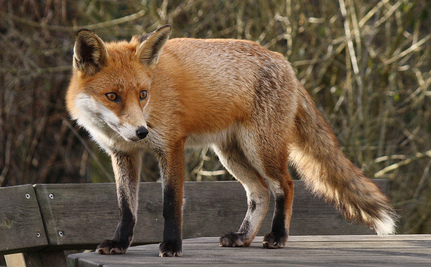 Keystone XL Pipeline is a Real Homewrecker, Especially for Foxes