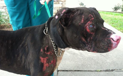 Onyx the Dog Catches on Fire Saving His Family, Now Recovering Thanks to the Love of Many