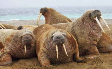 Why Are 10,000 Walruses on a Beach? (It�s Not a Party)