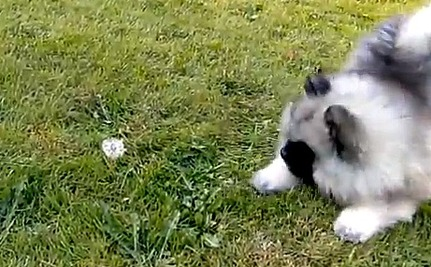 Daily Cute: Charlie the Puppy Versus…a Dandelion?