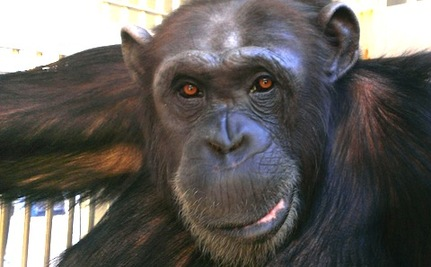 One Chimp's Journey From Lonely Zoo to Sanctuary Paradise