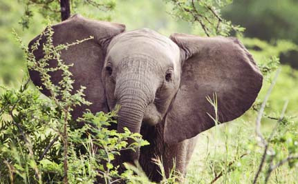 Can a New Global Partnership Save Elephants Before it's Too Late?