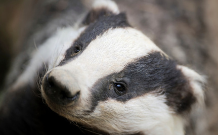 9 Reasons Not to Shoot Badgers and Why the UK is Trying it Anyway