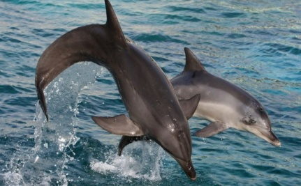 Town Wants You to Fund Dolphin Slaughter by Swimming with Dolphins
