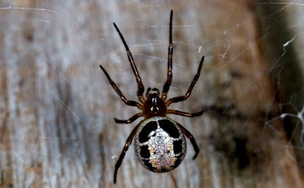 6 Facts About the Mostly Harmless Spider Terrorizing London