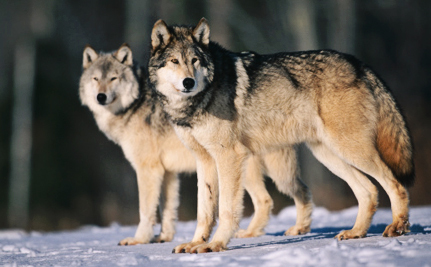 Does It Really Make Sense for 6,000 People to Kill 600 Wolves?