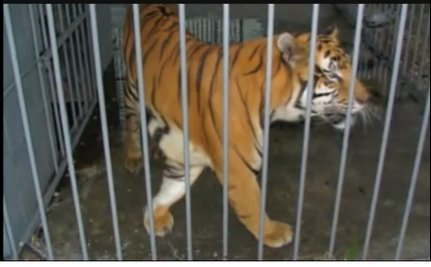 Tony the Truck Stop Tiger is One Step Closer to Freedom