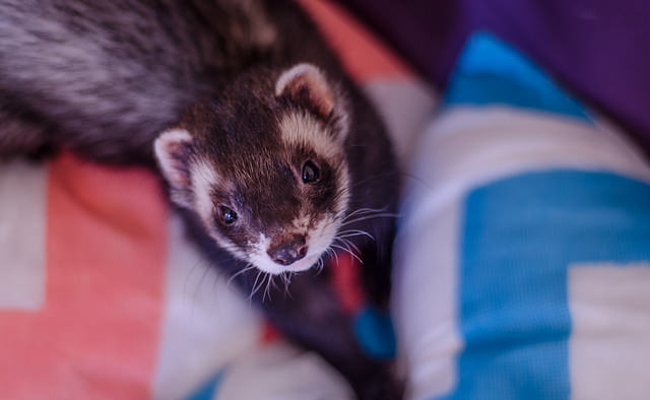 15 Things You Need to Know Before Adopting a Ferret