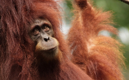 Homeless Orangutan Signs Heart-Breaking Message About Palm Oil