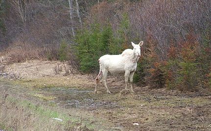 Hunters Shoot Sacred White Moose, Brag About Killing on Facebook