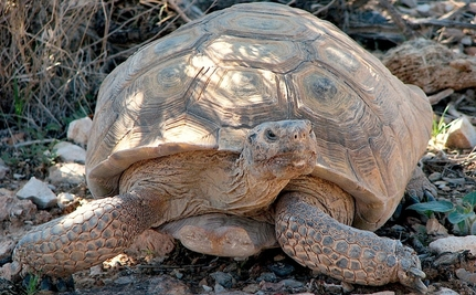 200-Year-Old Tortoise Killed Crossing a California Roadway
