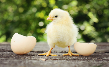"Cruelty to Baby Chicks at ""Humane"" Hatchery Exposed"