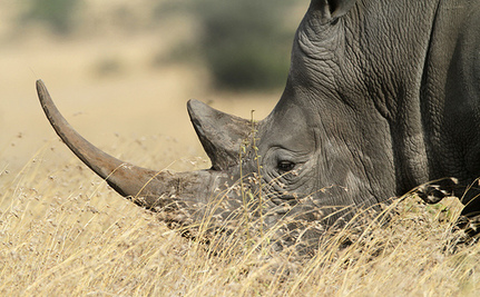 Microchips Could Be the Key to Protecting Endangered Rhinos in Kenya