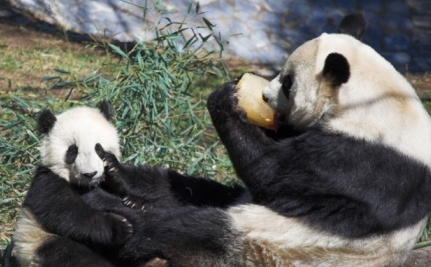 Zoos Get Pandas, China Gets Uranium: Is This a Fair Trade?