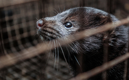 "Free Mink From a Fur Farm, Get Labeled as a ""Terrorist"""