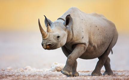 Dallas Safari Club Wants to Save Black Rhinos, So it's Decided to Kill One