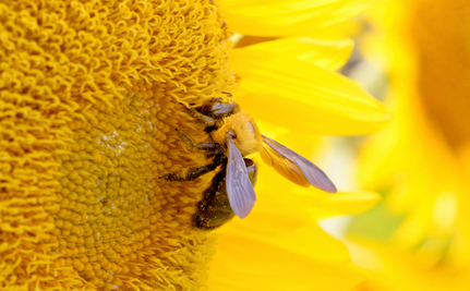 Could Bees Rebound from Extinction… Again?
