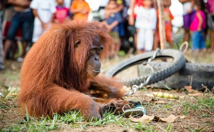 Bystander's Kindness Saves Terrified Orangutan from Jeering Crowd