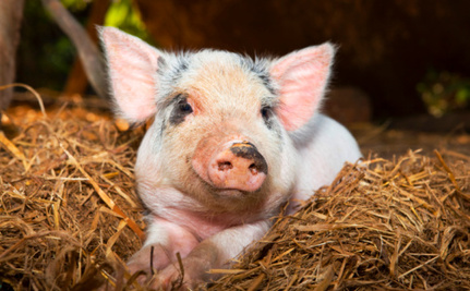 How Did a Piglet-Killing Virus From China Enter the United States?