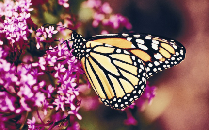 Monarch Butterflies Are Vanishing: Here's How You Can Help From Your Own Home