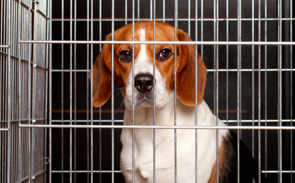 Here We Go Again: Company Restarts Plans to Breed Beagles for Research