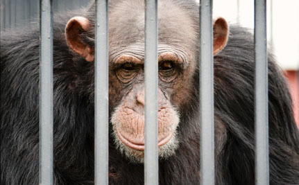"""Why Are """"Retired"""" Chimps Still Waiting in Labs for Their Freedom?"""
