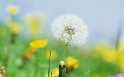 5 Reasons Dandelions Don't Deserve to Be Called a Weed