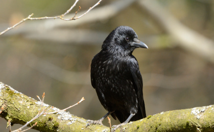 Antibiotic Resistance is Spreading to Crows, Flies and Foxes