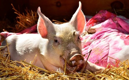 Canadian Piglet Jumps from Slaughterhouse Truck to New Life