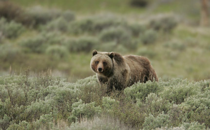 Yellowstone's Imperiled Grizzlies May Lose Protection