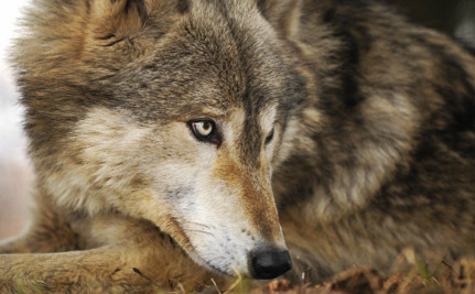Michigan�s Wolf Hunt Set to Start Thanks to Government Lies