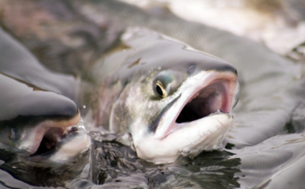 Thousands of Farmed Salmon Are On the Loose Near Norway