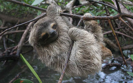Kidnapping Fiasco Highlights Exactly What We Need to Do to Protect Pygmy Sloths