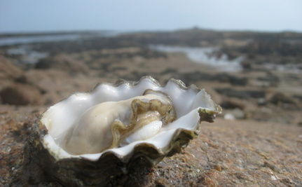 Oysters Come Back After Humans Ate So Many They Disappeared