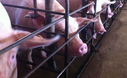 Guess Which Company Won't Drop Pork Supplier After Horrific Video Exposes Abuse