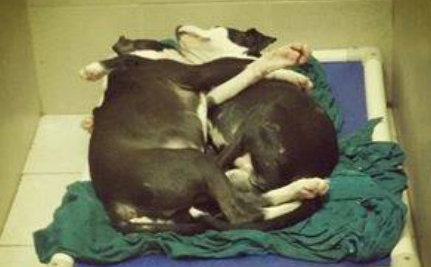 Two Pit Bull Puppies Literally Lean on Each Other to Get Through Life