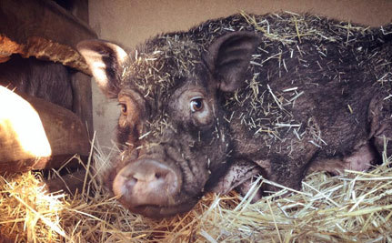 Pig Rescue: Journey From Hell to Sanctuary