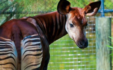 5 Fascinating Facts About the Now Endangered Okapi