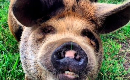 Is It Safe to Feed Pigs Our Food Waste?