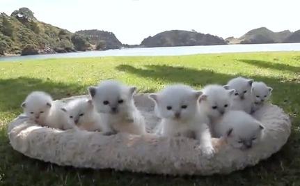 Daily Cute: Ragdoll Kittens Bask in the New Zealand Sun