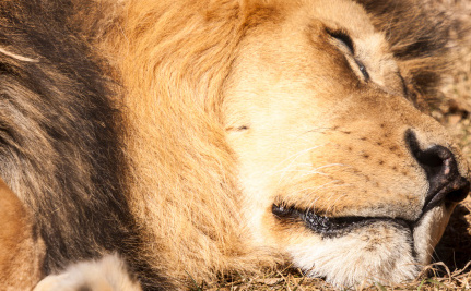 Are Syrians So Desperate That a Zoo Lion Was Killed For Food?