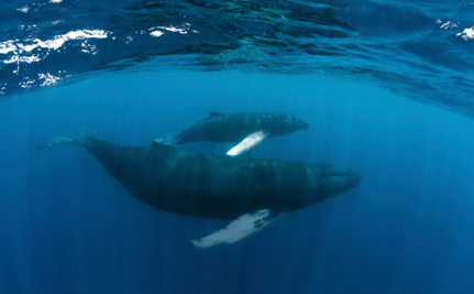 Who Will Be Able to Figure Out Why Baby Whales are Dying?