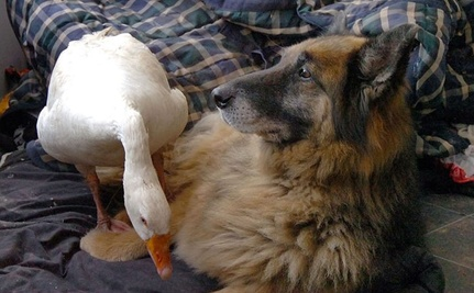 Dog and Goose Both Hated Everyone Until They Found Each Other